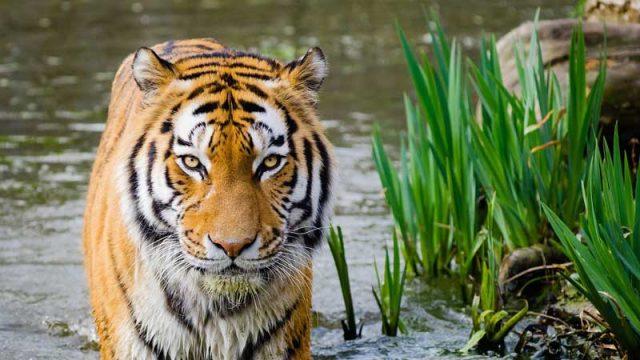 Populasi harimau di alam liar mulai meningkat