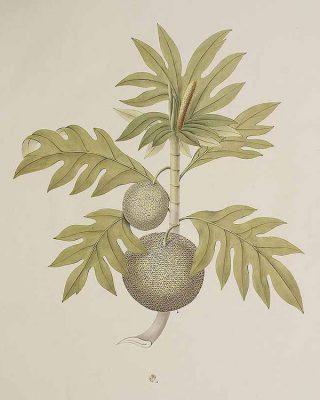 Ilustrasi buah sukun