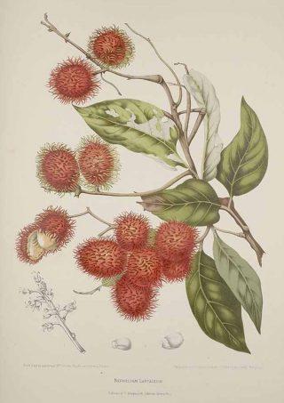 Ilustrasi buah rambutan