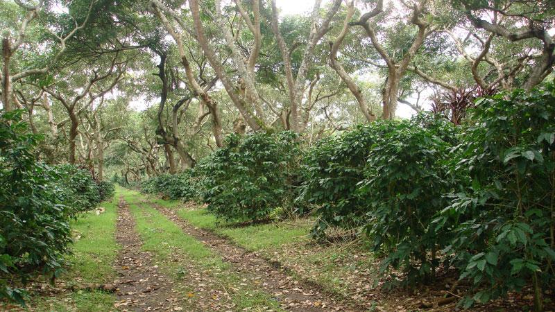Perkebunan tanaman kopi